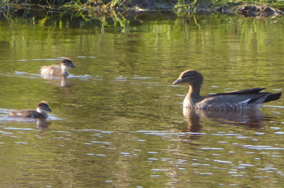 wood duck and babies2